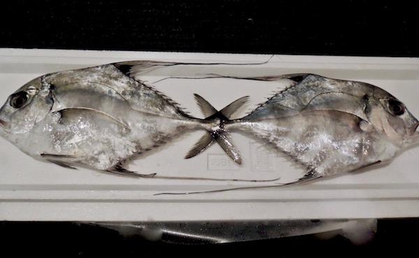 イトヒキアジ お魚