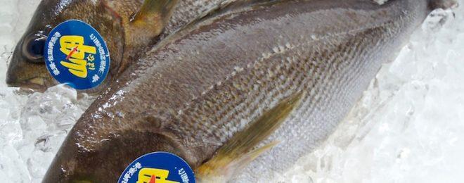 天然イサキ 漁師さん直送の一本釣り鮮魚