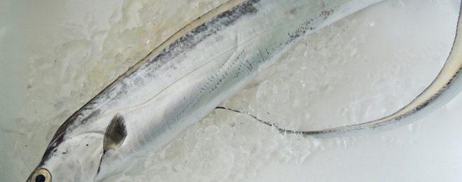天然太刀魚 漁師さん直送の一本釣り鮮魚