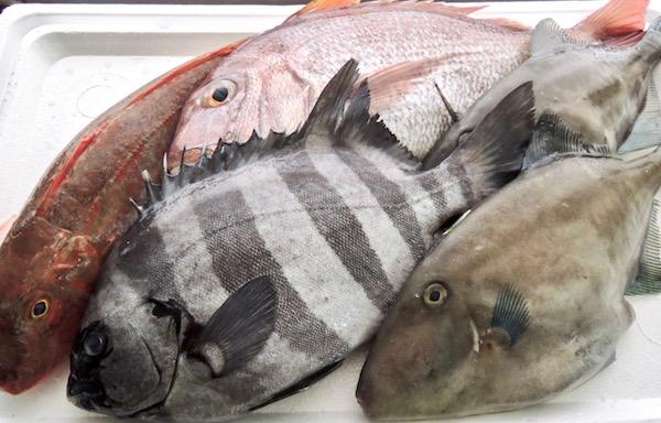 お魚 石鯛 ホウボウ カワハギ 真鯛