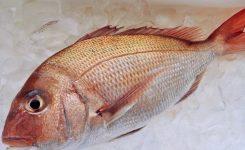 高知須崎 真鯛
