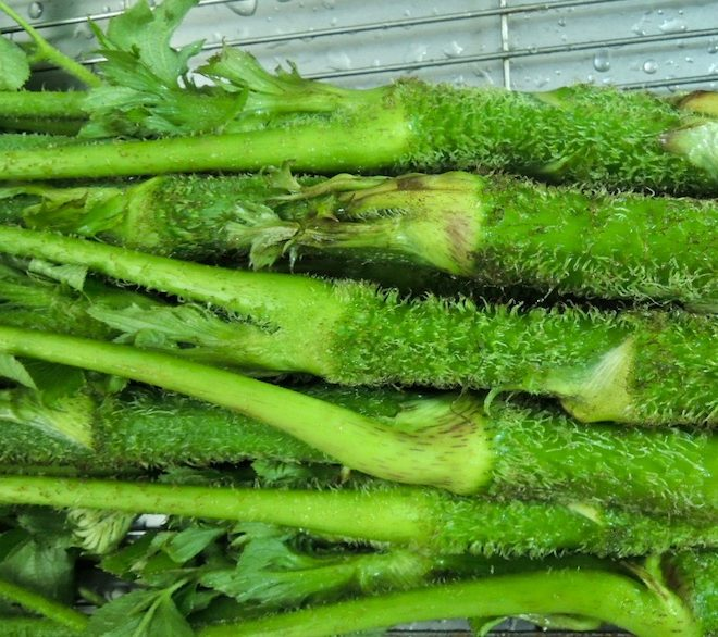 山ウド 季節の山菜 udo