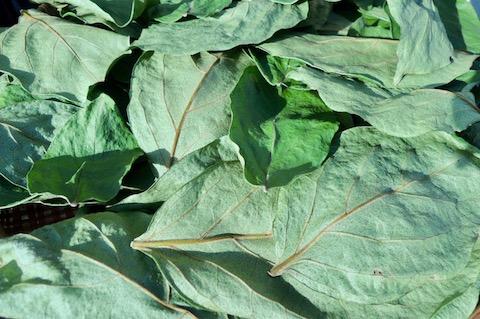 柿の葉茶 乾燥状態