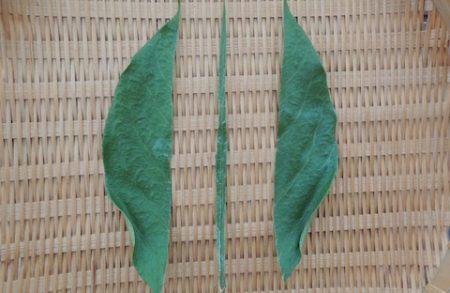 柿の葉茶 カット