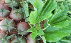 オーガニック野菜 トマト おかのり