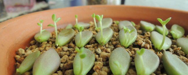 多肉植物 の子供 芽が出て来た