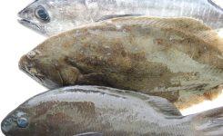 天然活け締め活魚 和歌山熊野漁港 ぐれ 平目 マグロ