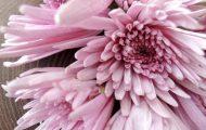 紫色の菊花 無農薬栽培 オーガニック