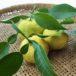 無農薬 柚子