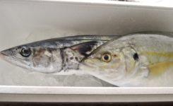 縞鯵と鰆 漁師船直送鮮魚
