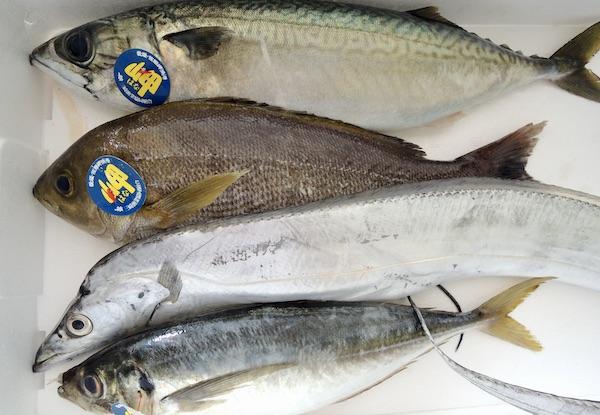 愛媛 一本釣り 鮮魚 2020