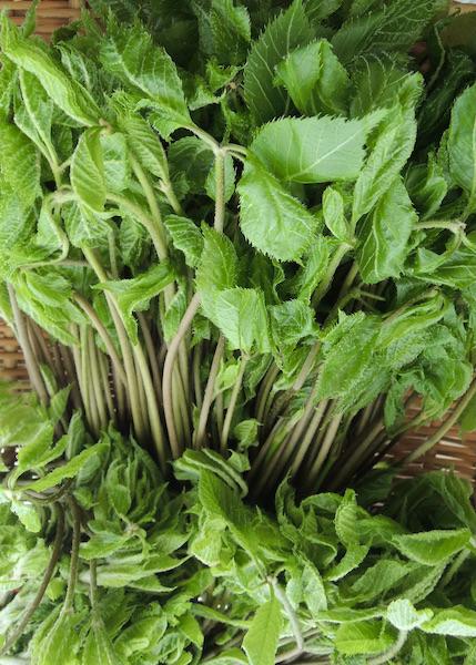 白木の芽 春山菜